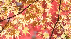 Autumn Leaves In Takao,Kyoto Stock Footage