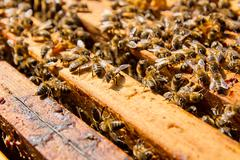 Close up view of the bees swarming on a honeycomb. - stock photo