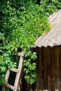 Foliage wild grapes on vintage wooden background. Stock Photos
