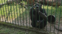 Adult common chimpanzee eating banana in the zoo Stock Footage
