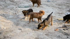 Many cute mongrel puppies looking for food and competing Stock Footage