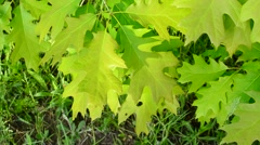 Stock Video Footage of Vibrant, lush, green foliage of northern red oak tree stirred gently by breez