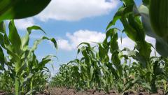 Green corn plants in cultivated field Stock Footage