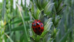 Ladybird beetle on wheat ear in field Stock Footage