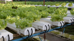 cultivation hydroponics green vegetable in farm - stock footage