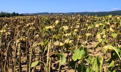 dried sunflowers field in late summer - stock photo