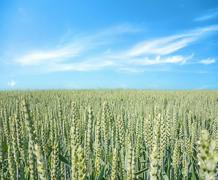 Stock Photo of Wheat field, blue sky