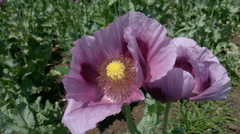 Close-up of opium poppy flower in the field - stock footage