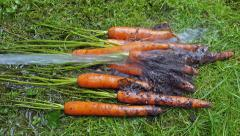 Flushing soil from freshly harvested carrots with garden hose Stock Footage
