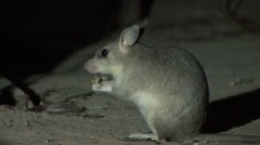 Giant Jumping Rat feeding in the night in the dry deciduous forests of Madaga Stock Footage