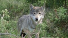 Wolf standing in forest watching alerted turning head ears slow motion Stock Footage
