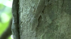 Giant Leaftailed Gecko camouflage in the rainforest of Madagascar 2 Stock Footage