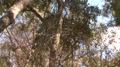 Golden Crowned Sifaka climb down the tree in Daraina in the forest of Mad Stock Footage