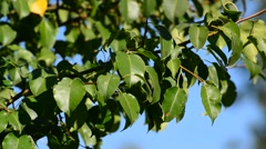 Pear tree branch with leaves on the wind in  summer Stock Footage