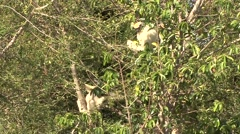 Golden Crowned Sifaka feeding in Daraina in the forest of Madagascar 10 Stock Footage