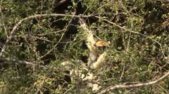 Golden Crowned Sifaka feeding in Daraina in the forest of Madagascar 8 Stock Footage