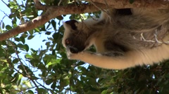 Golden Crowned Sifaka feeding in Daraina in the forest of Madagascar 5 Stock Footage