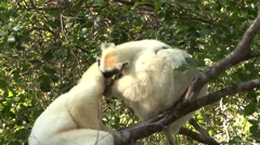Golden Crowned Sifaka grooming in Daraina in the forest of Madagascar Stock Footage