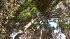 Golden Crowned Sifaka jumping in tree in Daraina in the rainforest of Madagas Stock Footage