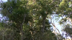 Golden Crowned Sifaka jumping in tree in Daraina in the forest of Madagas Stock Footage
