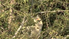 Golden Crowned Sifaka move with baby on stomach in Daraina in the forest Stock Footage