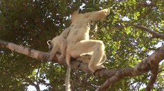 Golden Crowned Sifaka with baby on back in Daraina in the forest of Madag Stock Footage