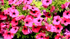 Daises flowers pink Stock Footage