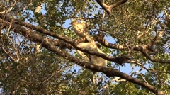 Golden Crowned Sifaka with playful baby in Daraina in the forest of Madag Stock Footage