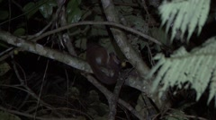 Greater Dwarf Lemur feeds on fruit in the rainforests of Madagascar 3 Stock Footage