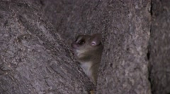 Grey Mouse Lemur in tree looking around in the dry deciduous forests of Madag - stock footage