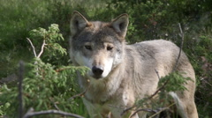 Wolf standing left side view close up watching sniffing alerted Stock Footage