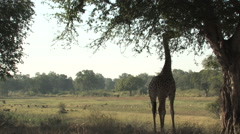 Giraffe in the South Luangwa National Park Stock Footage