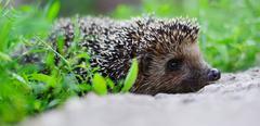 Young hedgehog in natural habitat Stock Photos