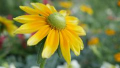 Stock Video Footage of Rudbeckia hirta Irish eyes also known as  Irish Spring flower in the garden 4