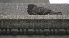 Bird sleeping on Adam Mickiewicz Monument, Krakow Stock Footage