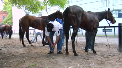 Polo Pony getting hooves cleaned by Grooms Stock Footage