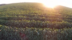 Soybeans at sunset - stock footage