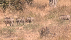 Warthogs in the South Luangwa National Park, Zambia Stock Footage