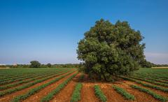 Old olive tree in a field, Puglia, Italy - stock photo