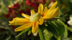 Beautiful Rudbeckia hirta Irish eyes also known as  Irish Spring flower in th Stock Footage