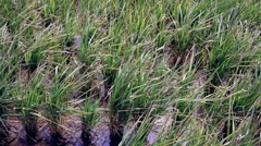 View of rice plantation - stock footage