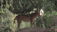 Leopard at the South Luangwa National Park Stock Footage