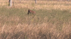 Hyena in the South Luangwa National Park Stock Footage