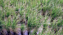 View of rice plantation Stock Footage
