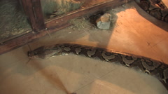 Boa Constrictor in Kitwe, Zambia Stock Footage