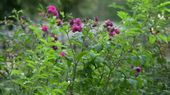 Beautiful pink flowers in the park, Krakow Stock Footage