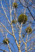 Mistletoe in Poplars Stock Photos