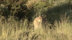 Puma lay down in high gras in Patagonia in Chile 1 - stock footage