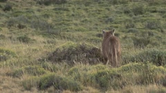 Puma drag pray in Patagonia in Chile 2 Stock Footage