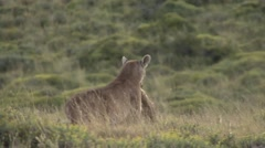Puma drag pray in Patagonia in Chile 5 Stock Footage